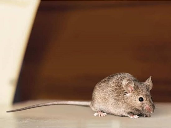 Mice rodent