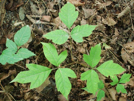 How do you Avoid Poison Ivy Plant Allergy