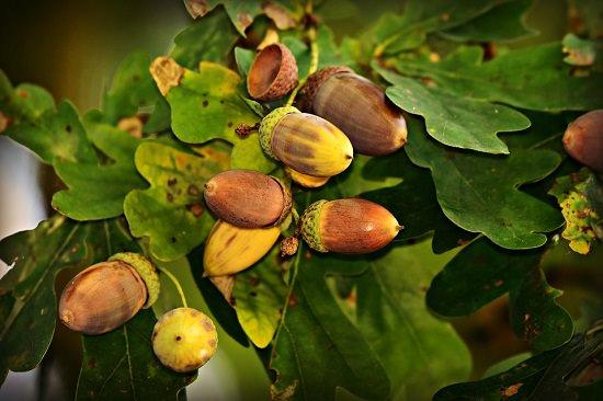 Acorn Jelly Health Benefits1
