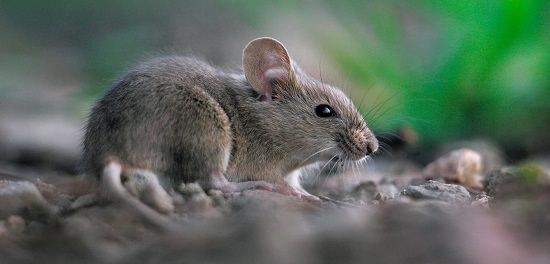 Do Bay Leaves Repel Mice1