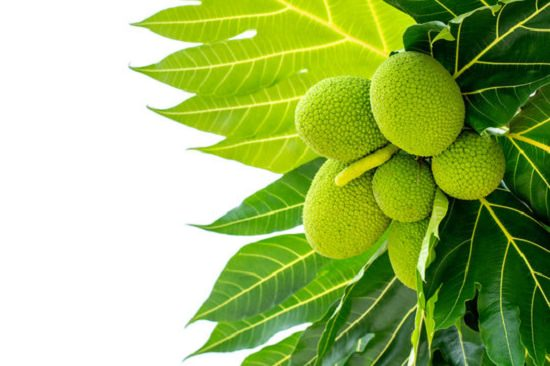 Health Benefits of Breadfruit2