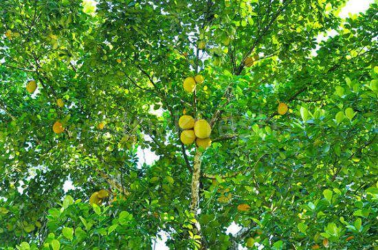 Health Benefits of Breadfruit1