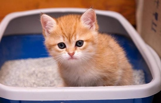Home Remedies for Constipation in Kittens2