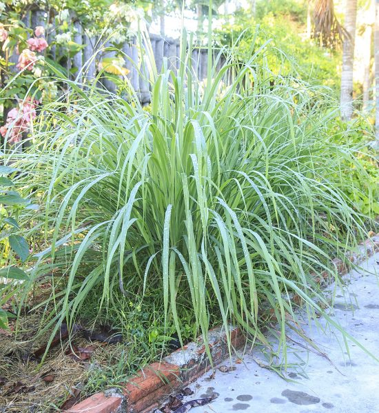 Does Lemongrass Repel Mosquitoes1