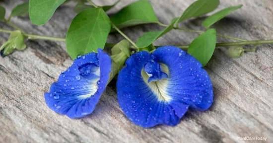 Butterfly Pea Flower Side Effects1