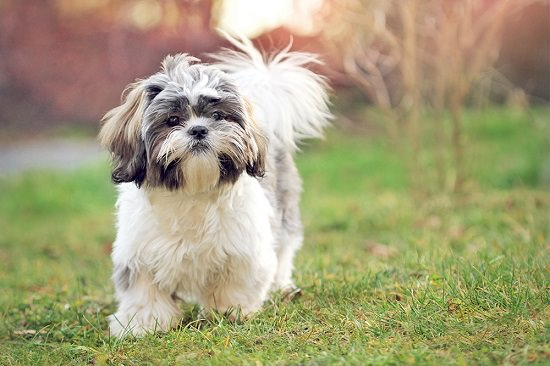 Home Remedies for Fleas In Shih Tzus2